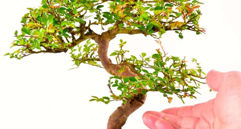 Artistic Oriental Style Chinese Elm Indoor Bonsai