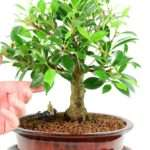 Beautiful Ficus Indoor Bonsai Powerful Stature
