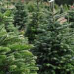 Buy Real Christmas Tree Gold Coast Byron