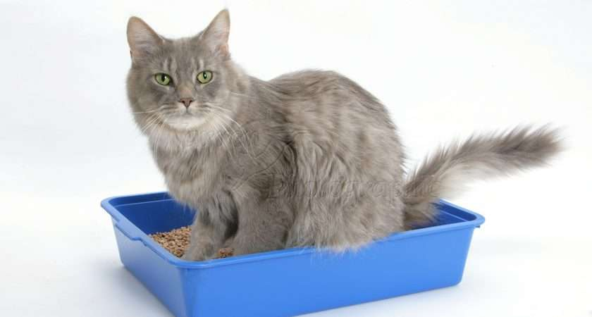 Cats Maine Coon Crazygallery Info