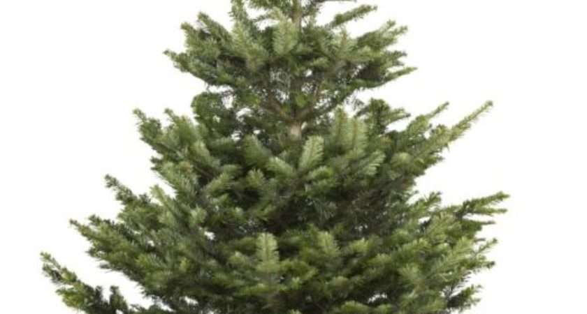 Continue Shopping Large Cut Nordman Fir Real Christmas Tree
