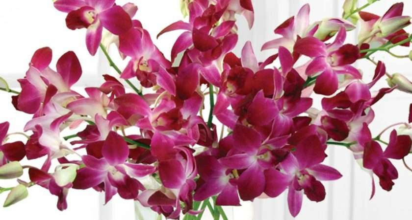 Dendrobium Orchid San Diego Orchids