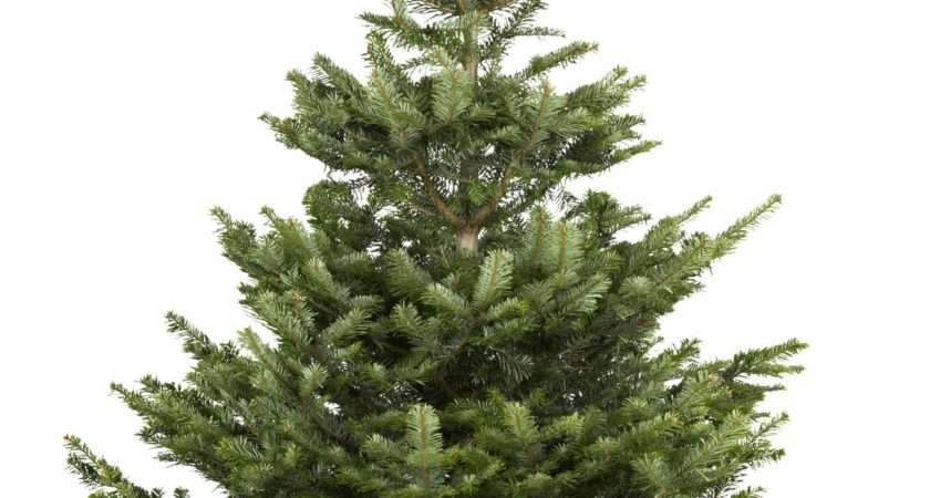 Extra Large Nordman Fir Real Christmas Tree Departments