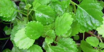 Five Easy Grow Trailing Swedish Ivy Plant Ebay