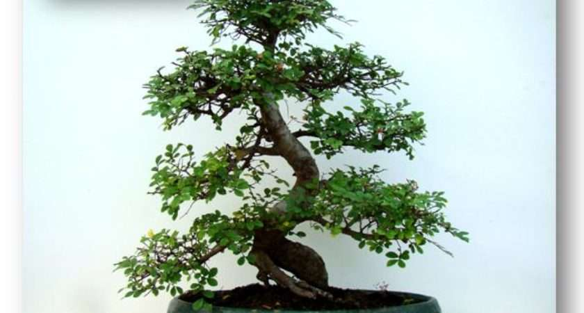 Indoor Bonsai Trees Extensive Collection Popular