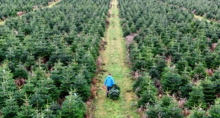 Real Christmas Trees Destined Sale Stores Across