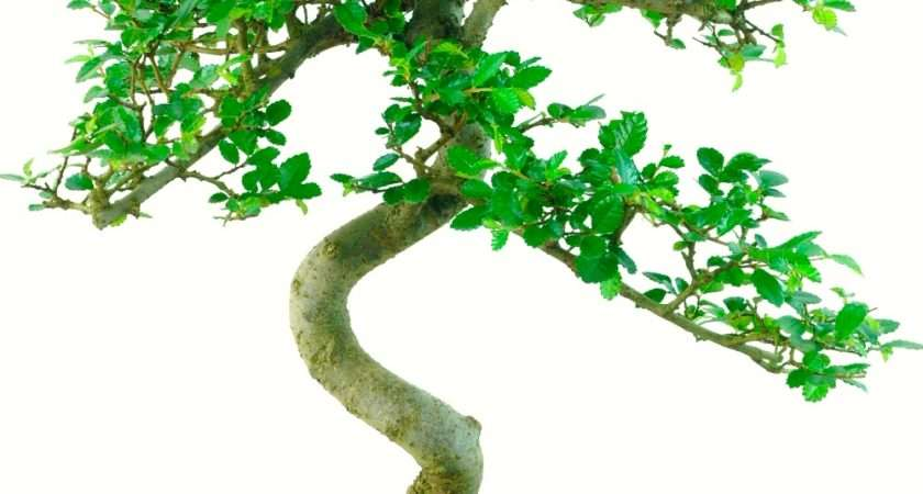 Stunning Chinese Elm Indoor Bonsai Tree Excellence Range