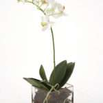 Waterlook Silk Cream White Phaleanopsis Orchid Square